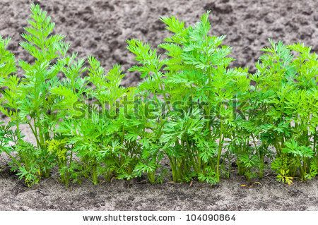 Closeup Of One Row Of Young Carrot Plants In Springtime How To