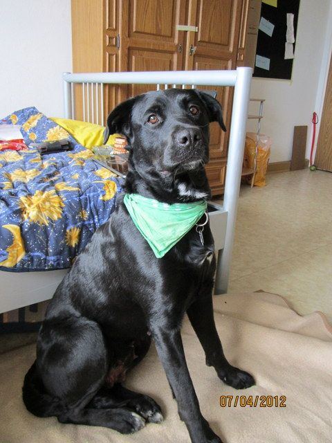 Luna Berner Sennenhund Labrador Mischling Mix Sennenhund Labrador Labrador Mischling