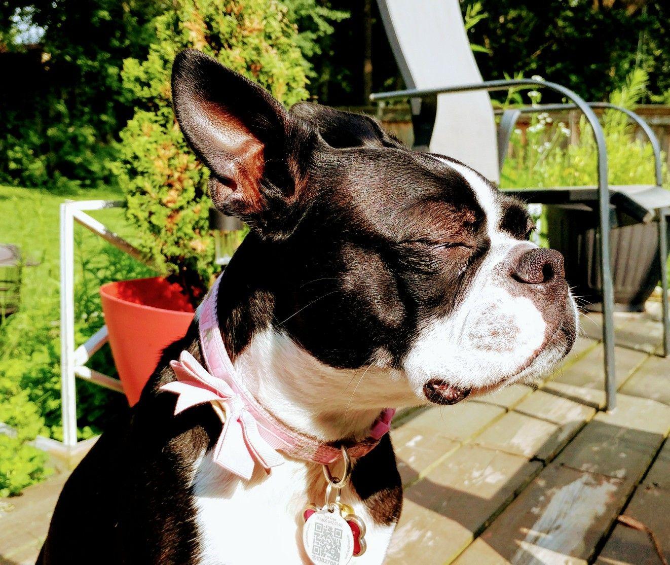 Park Art|My WordPress Blog_Boston Terrier Puppies Raleigh Nc