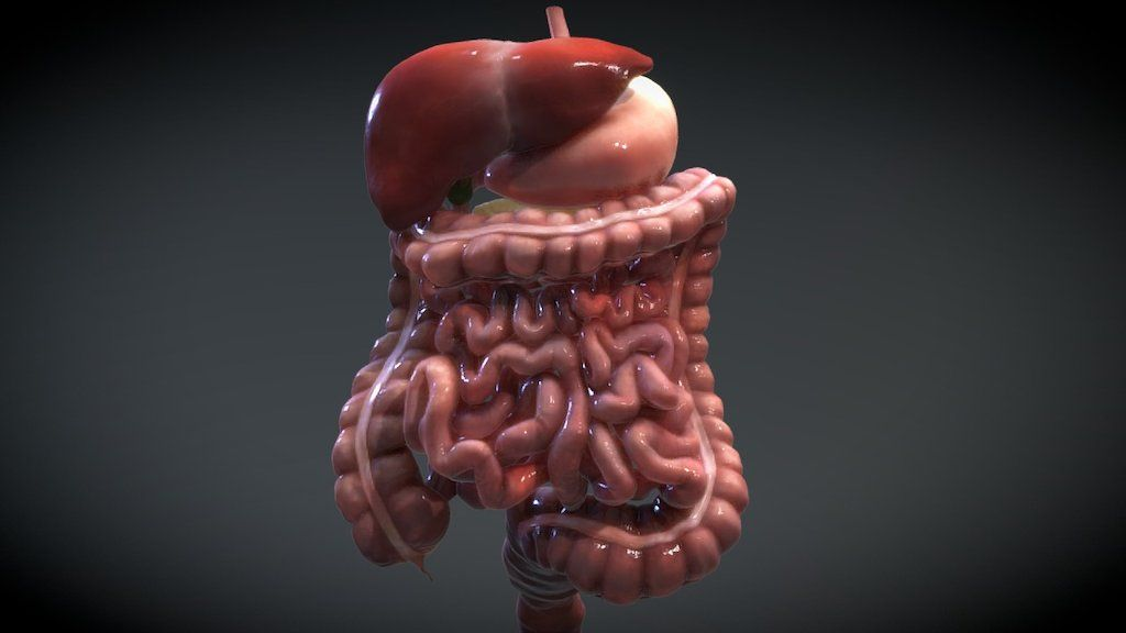Accessory Organs Of The Digestive System Mesmerizing The Human Digestive System Consists Of The Gastrointestinal Tract Design Decoration