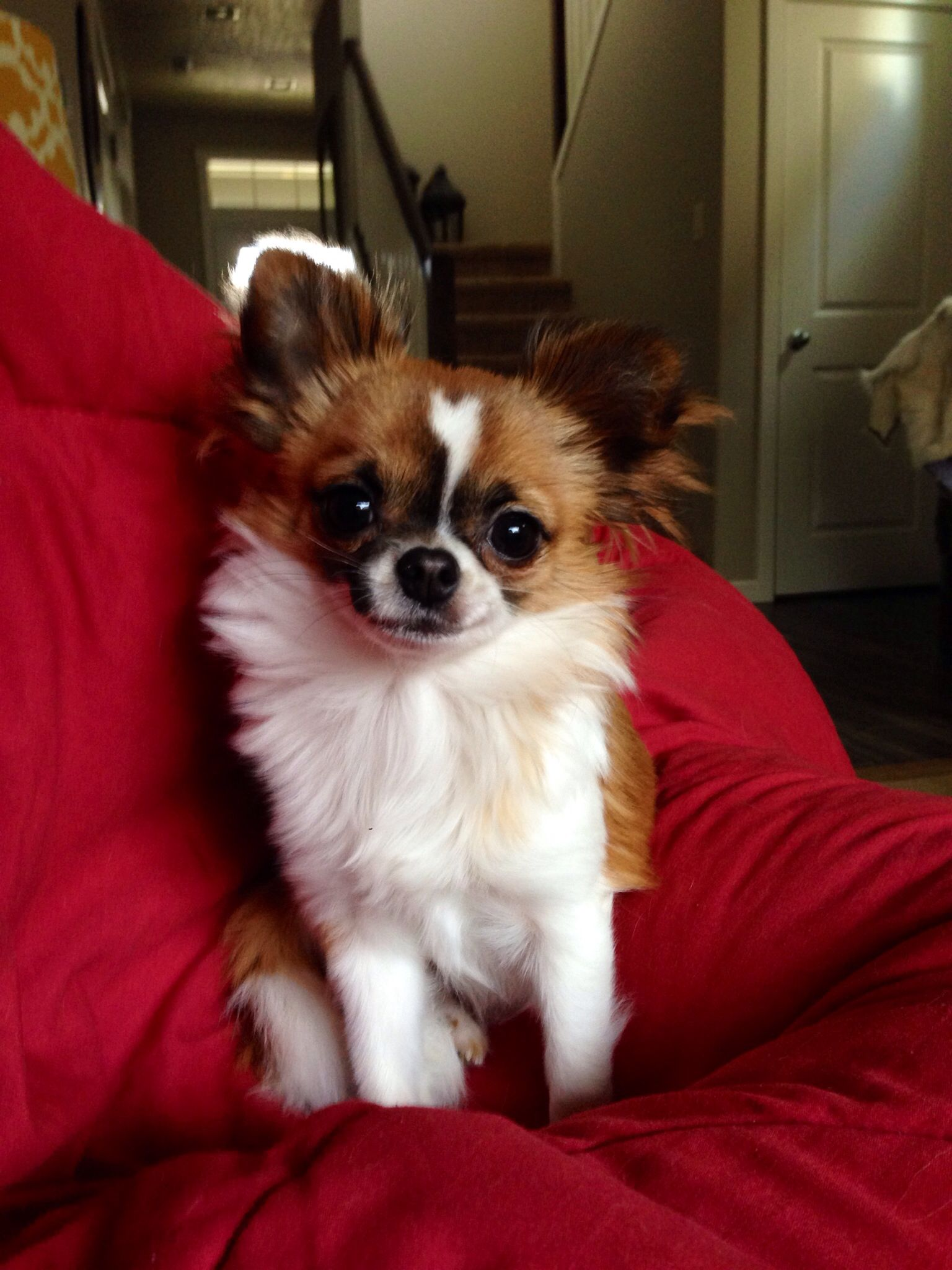 Longhaired Chihuahua Puppy Named Tikka Smirking Chihuahua