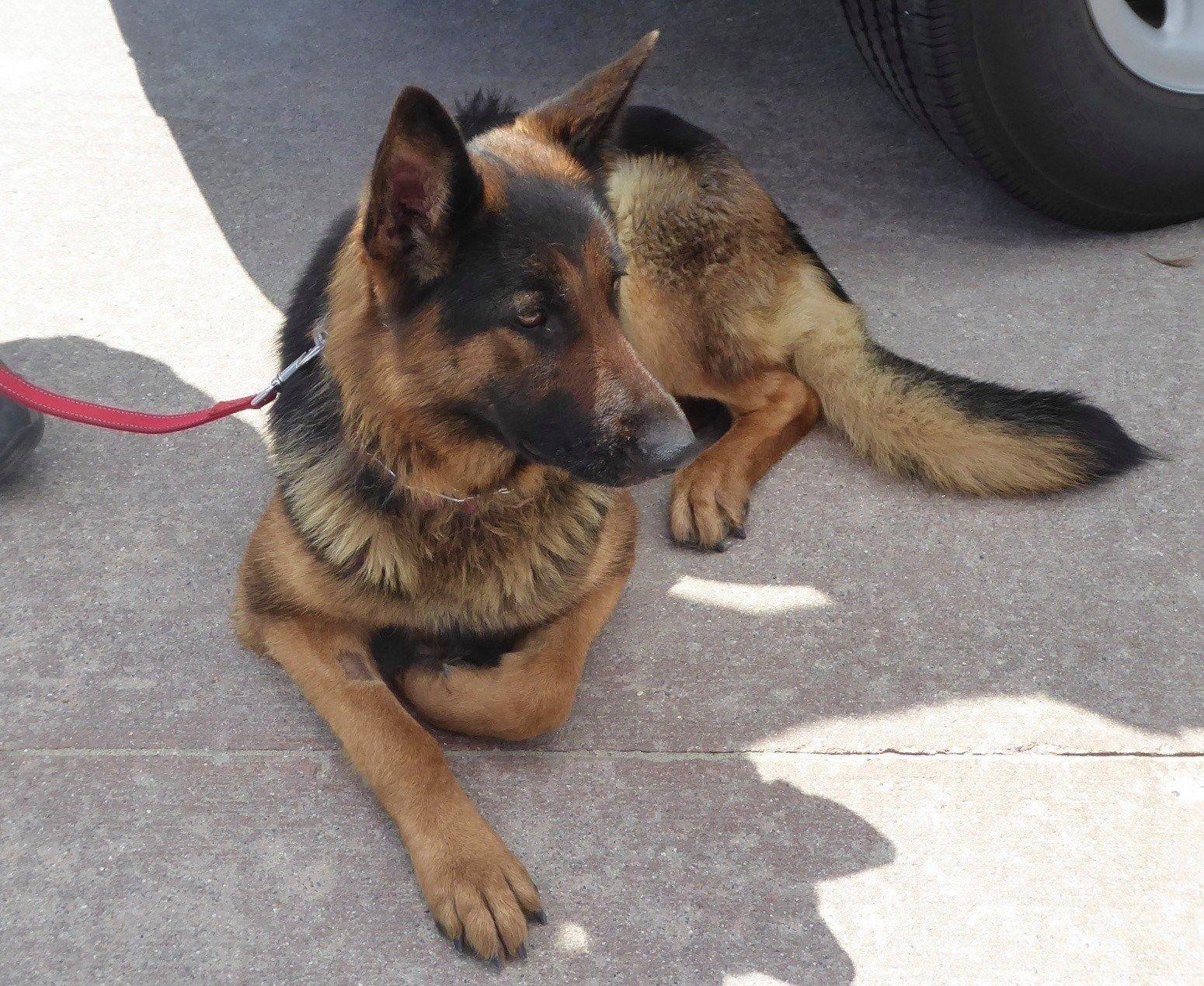 German Shepherd Dog Dog For Adoption In Newport Beach Ca Adn