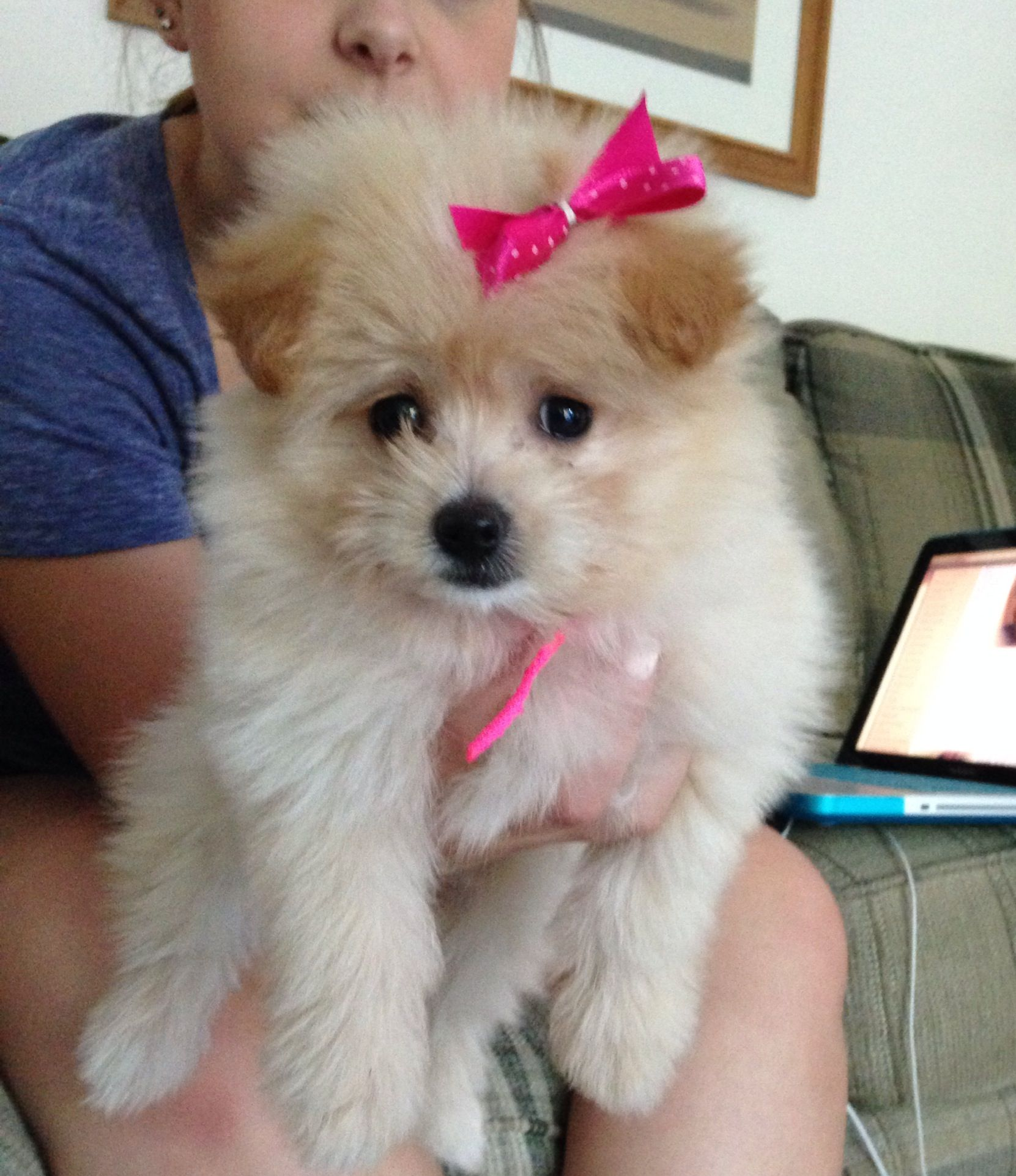 My 9 Week Old Pomapoo Puppy Pomeranian