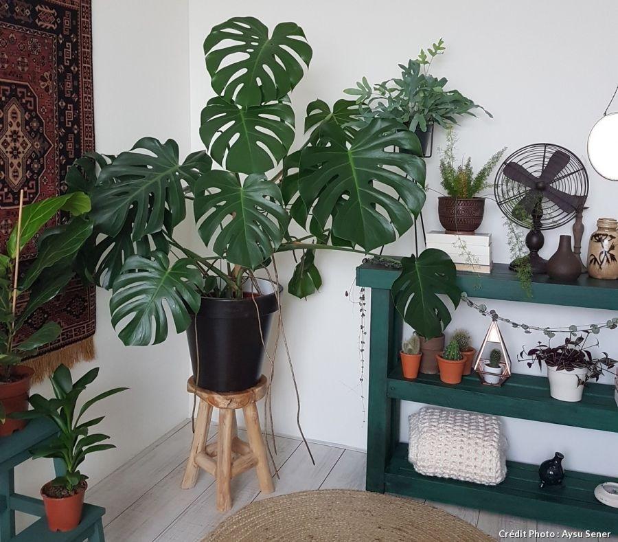 monstera ou faux philodendron les tropiques dans la maison plantes d 39 int rieur pinterest. Black Bedroom Furniture Sets. Home Design Ideas