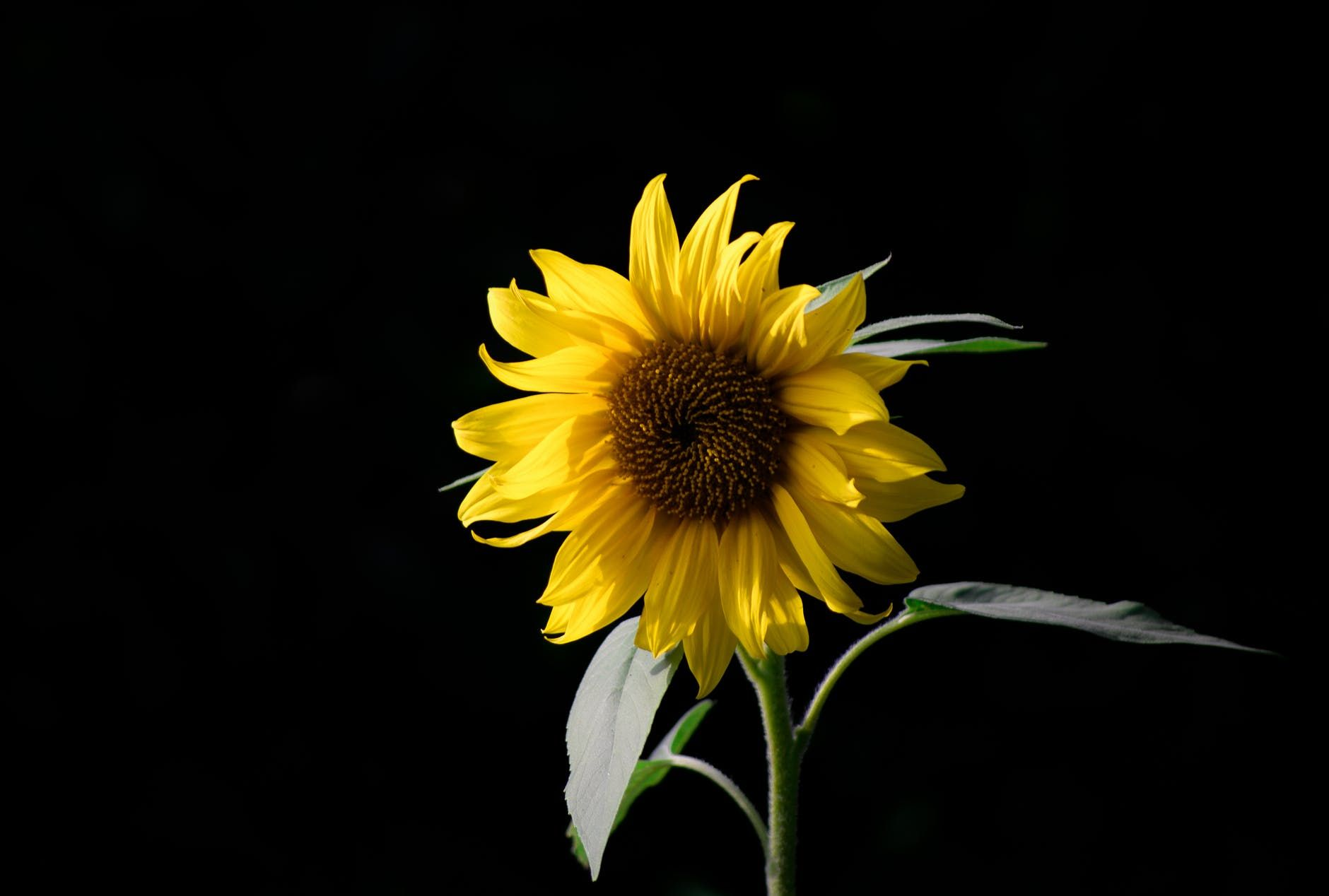 Sleepless Sunflower Poem Sunflower Wallpaper Sunflowers Background Black Flowers Wallpaper