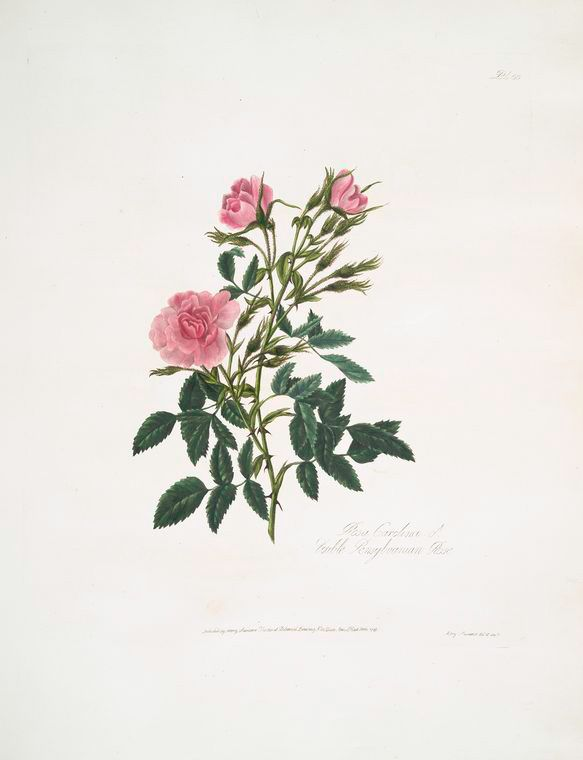 A collection of roses from nature