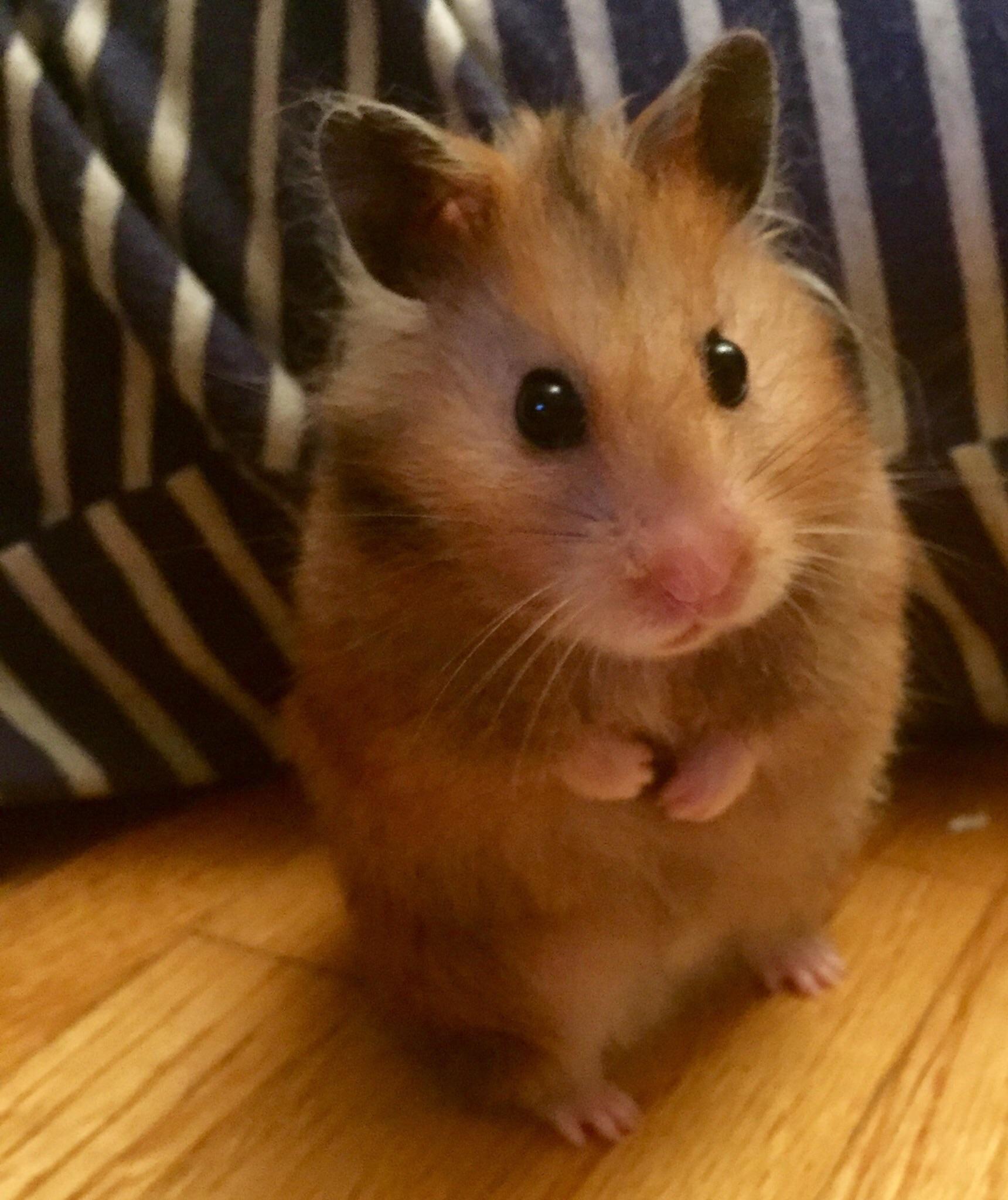 Brownie Update Pt2 In Comments Https Ift Tt 2n3ekod Hamster