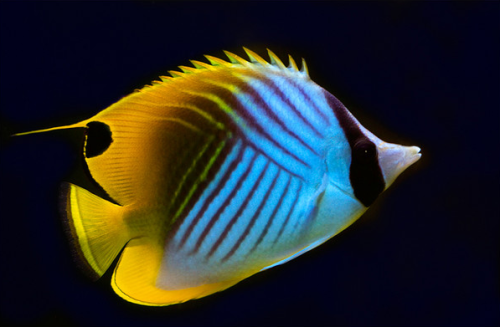 Marine Life Rhamphotheca Threadfin Butterflyfish Chaetodon Coral Reef Bleaching Beauty Animals Saltwater Aquarium