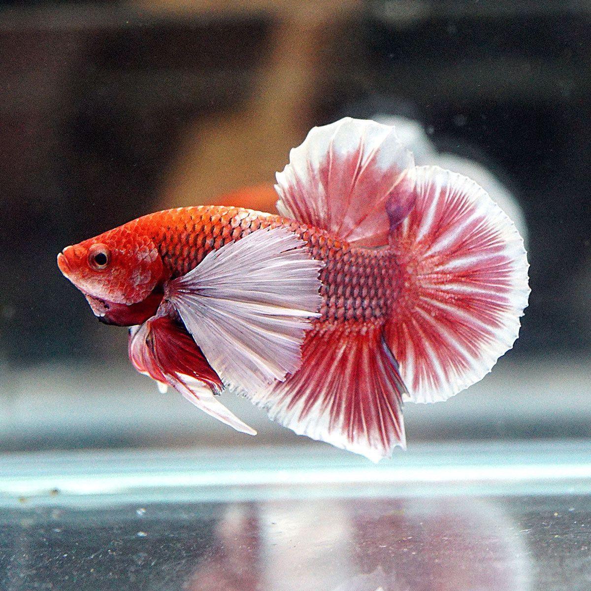 Live Betta Fish Male RED PINK Dumbo BIG Ears Halfmoon Plakat FIRE ...