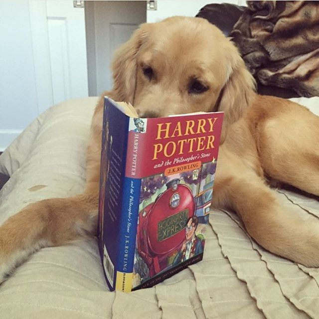 Albus The Golden Retriever Golden Retriever Baby Kittens And Puppies Crazy Dog Lady