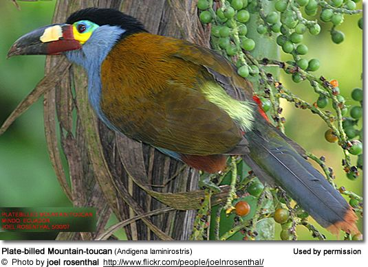 Plate-billed Mountain-toucans (Andigena laminirostris)