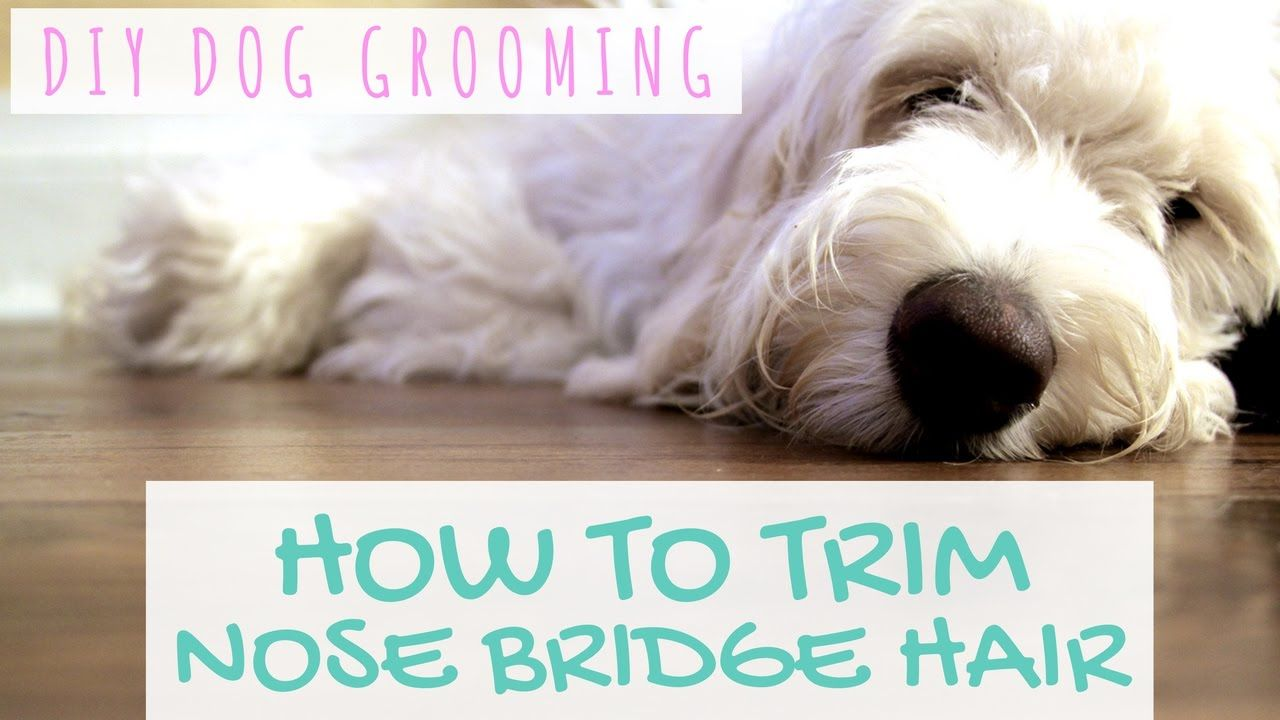 Diy Dog Grooming How To Trim Nose Bridge Hair Goldendoodle Grooming Dog Grooming Diy Dog Stuff