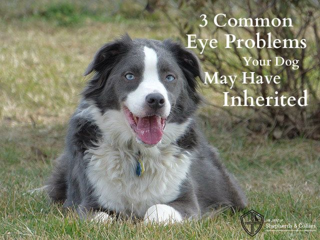 Three Common Eye Problems Your Dog May Have Inherited Dogs
