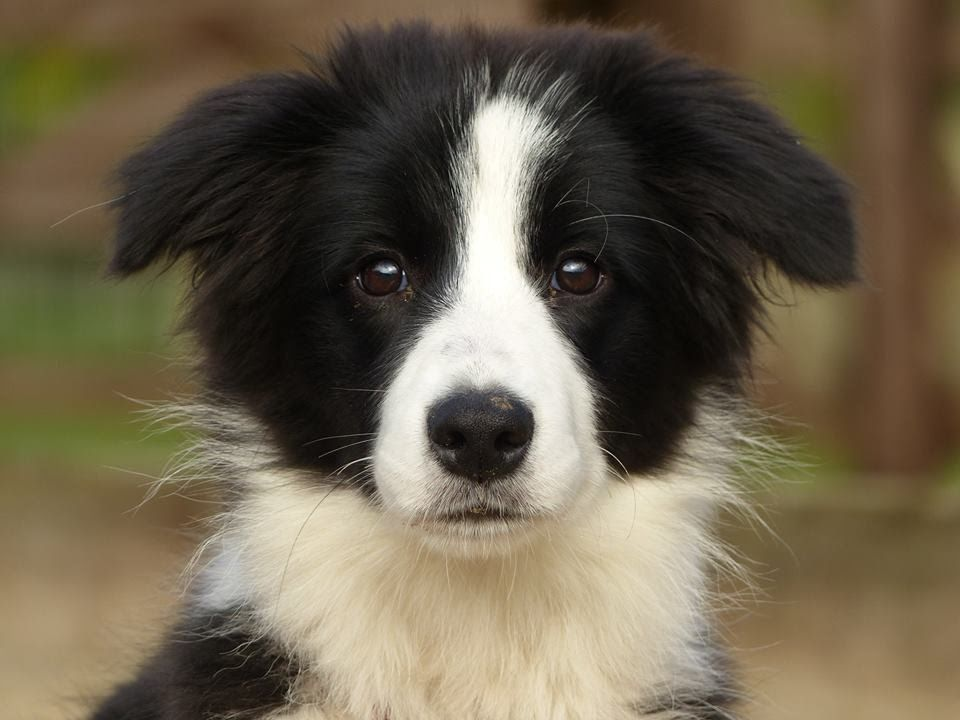 Daisy Border Collie Puppy 2 Week Residential Dog Training At