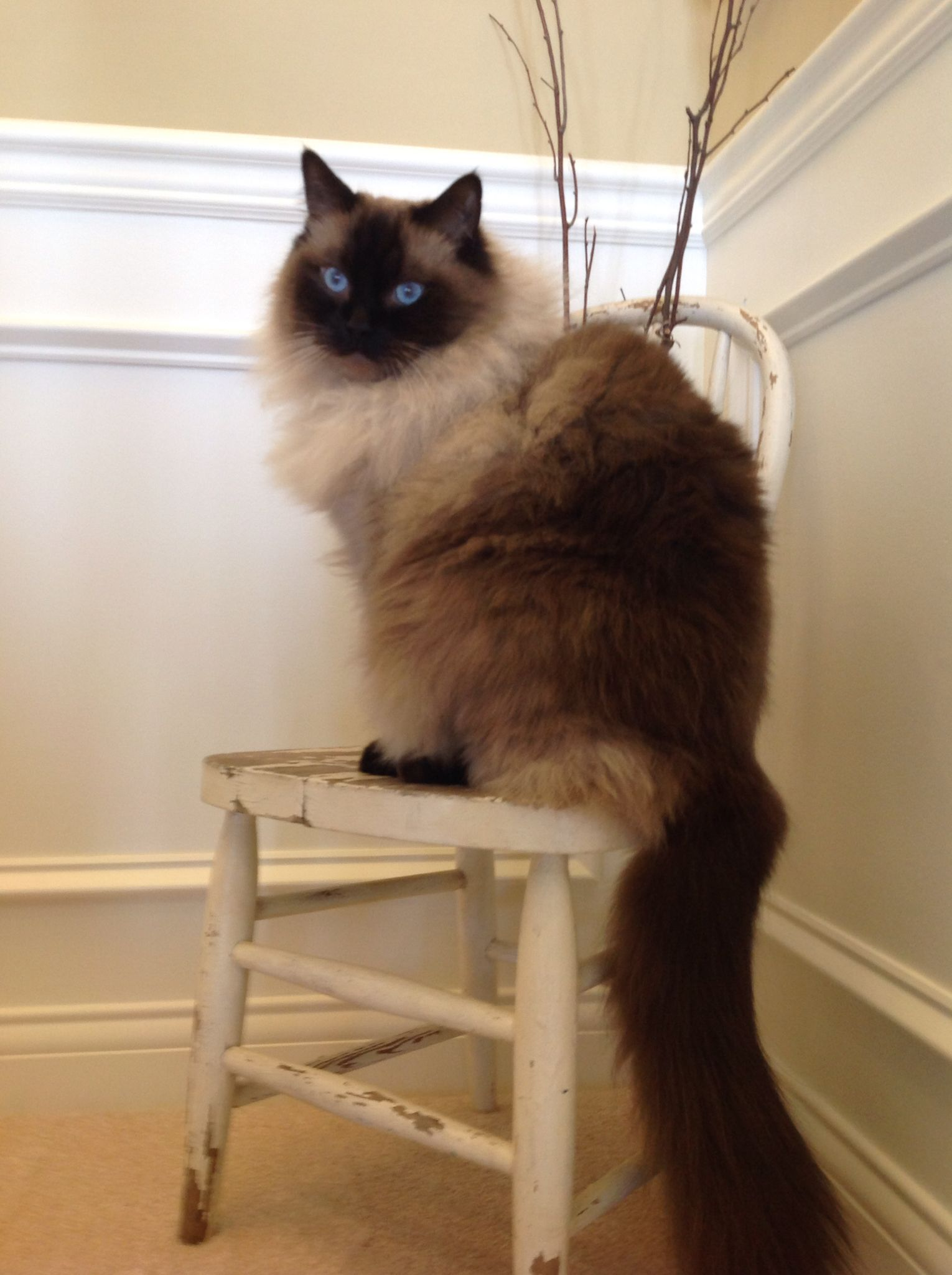 Ryker Wendell 3 yr old Seal Point | ragdoll cats | Pinterest | Cat ...