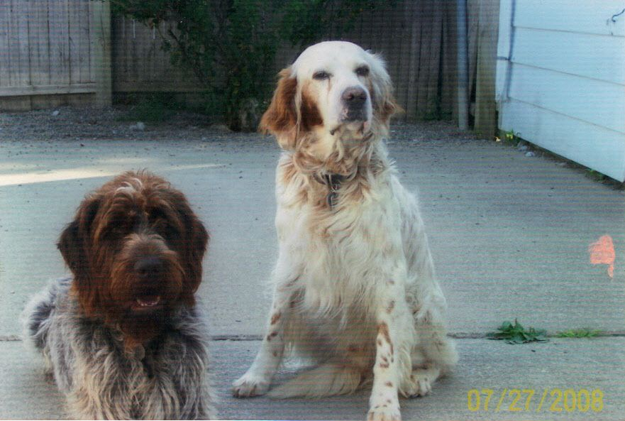 Wirehaired Pointing Griffon & English Setter (Graduation Day ...
