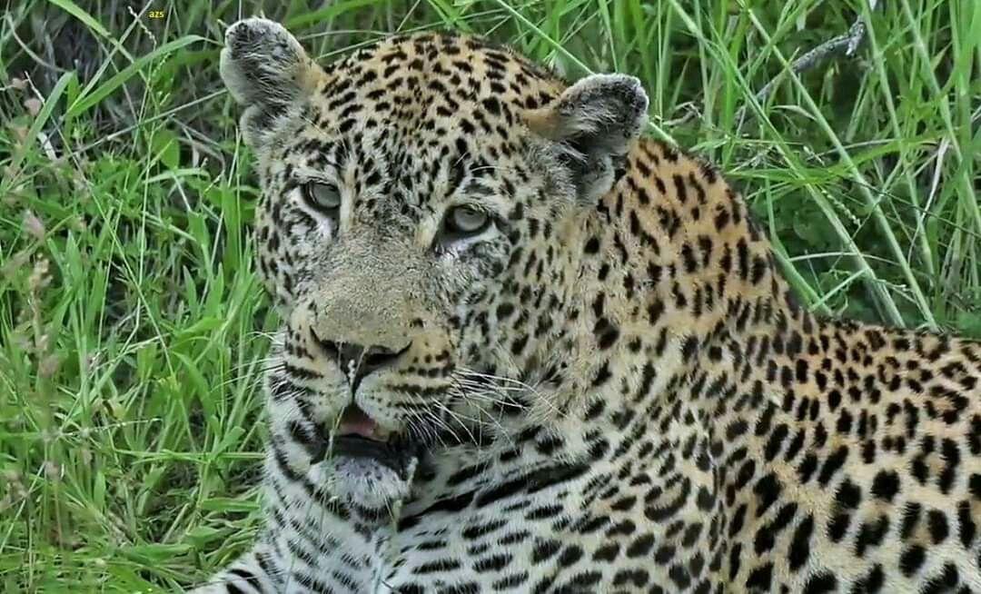 Tingana 22020 in 2020 Cats, Animals, Safari