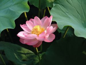 Japanese meaning lotus purity earths beauty marks pinterest japanese meaning lotus purity mightylinksfo