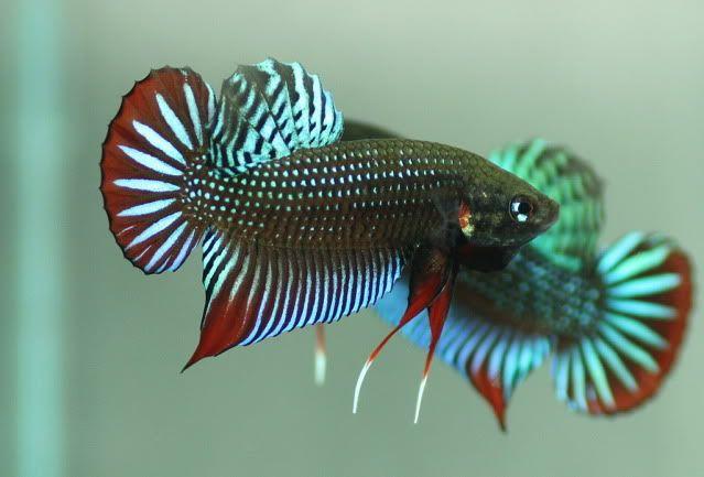 639 433 ornamental fish betta for Wild betta fish