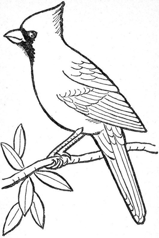 Cardinal On A Branch Coloring Picture Bird Outline Bird Drawings Bird Coloring Pages