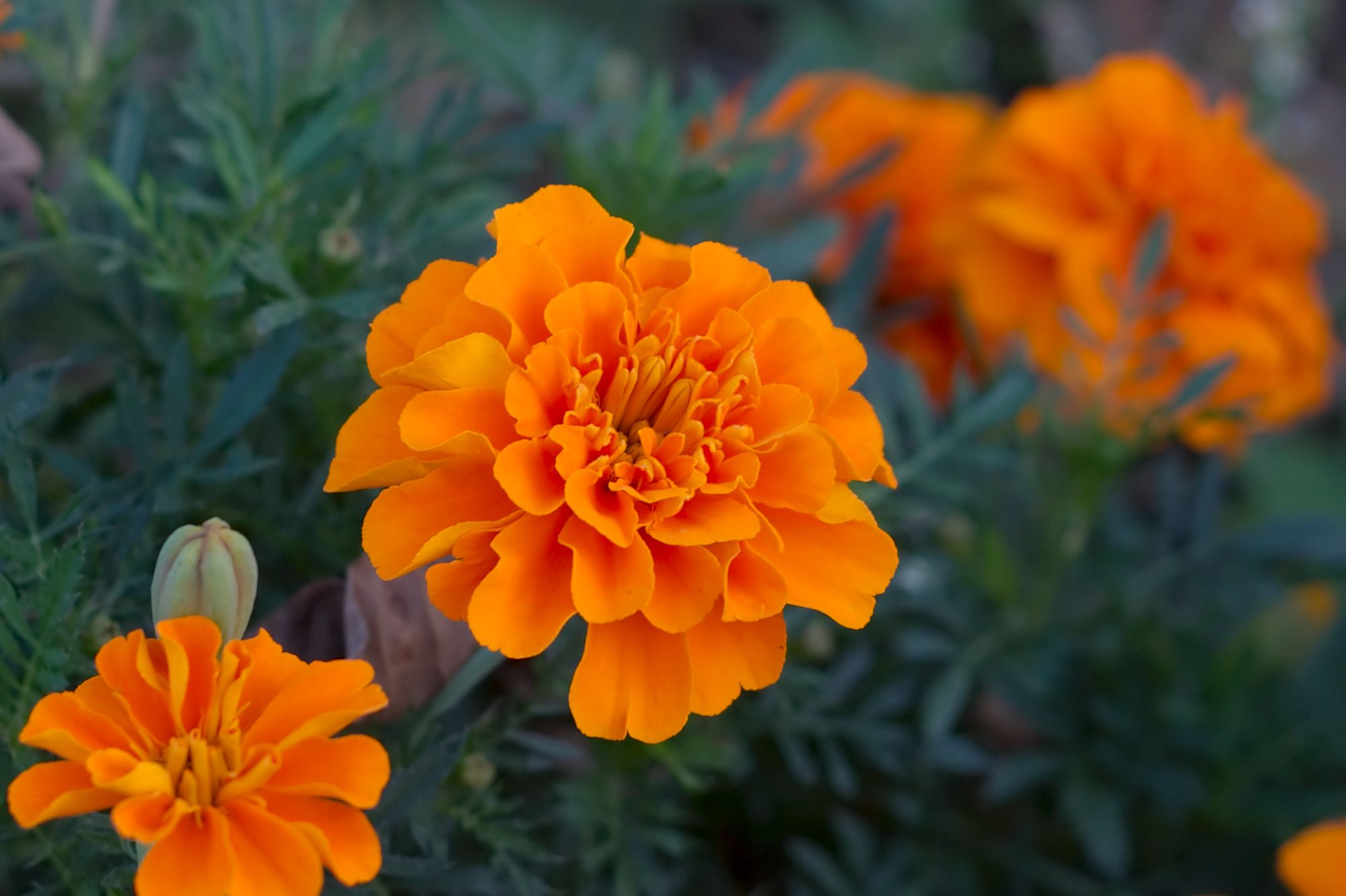 Marigolds (genus Tagetes): Flavorous, Floriferous, and Fragrant to Butterfly Skippers, Sulphurs, and Whites #plantsthatrepelmosquitoes