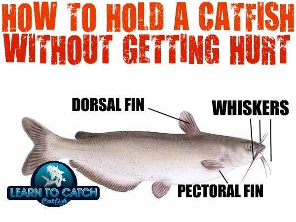 How To Hold A Catfish And Do Catfish Sting Catfish Fishing Catfish How To Catch Catfish