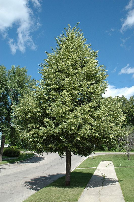Find Greenspire Linden Tilia Cordata Greenspire In