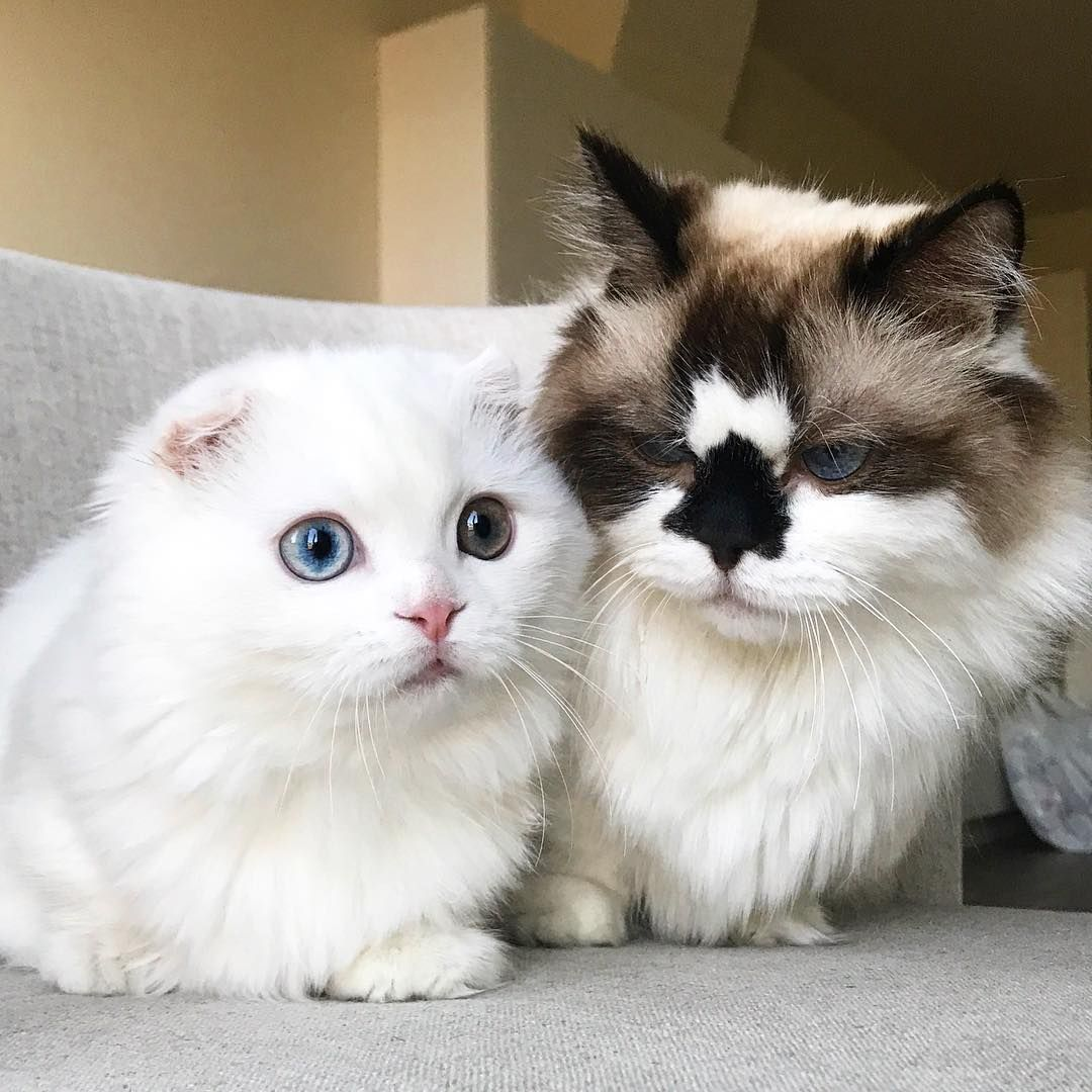Albert Grouchy Old Man And His Baby Bro Goyanggy Cats - Meet albert the cutest munchkin cat on the internet