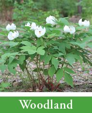 Peony Care | Tree Herbaceous Intersectional