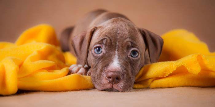 Let S Talk Breed Specific Legislation And Restrictions Pitbulls