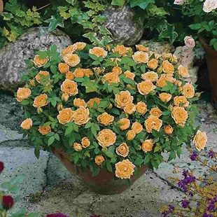 Patio Rose Orange 2 Pre Planted Containers | Roses | Gardening Direct
