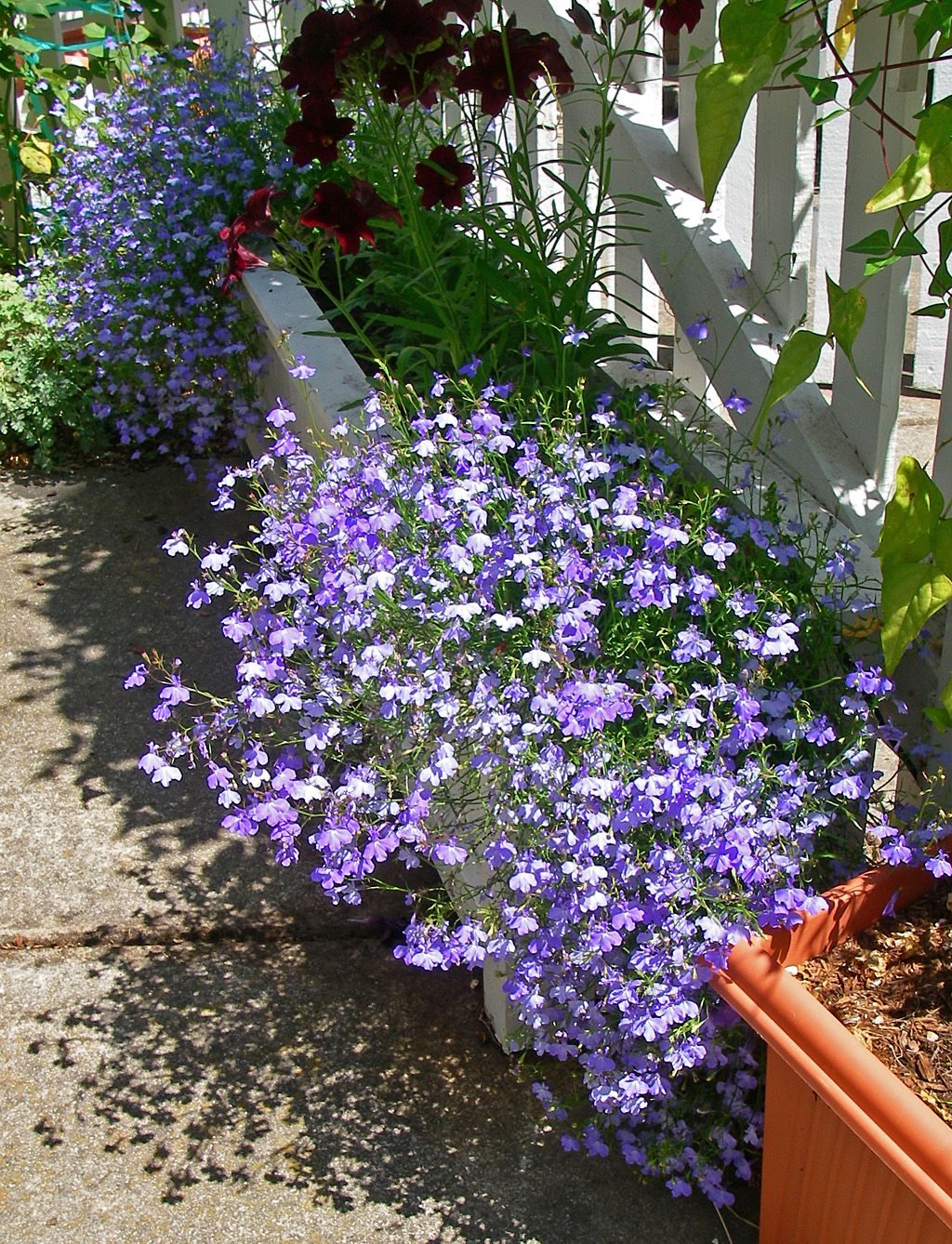 Trailing Plants Lobelia Gardening Ideas Planting Flowers Side