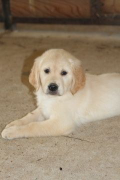 Golden Retriever Puppy For Sale In Kirbyville Tx Adn 35099 On