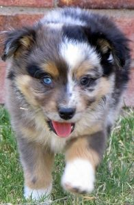 Remi Toby Litter Male Blue Merle West Texas Mini Aussies