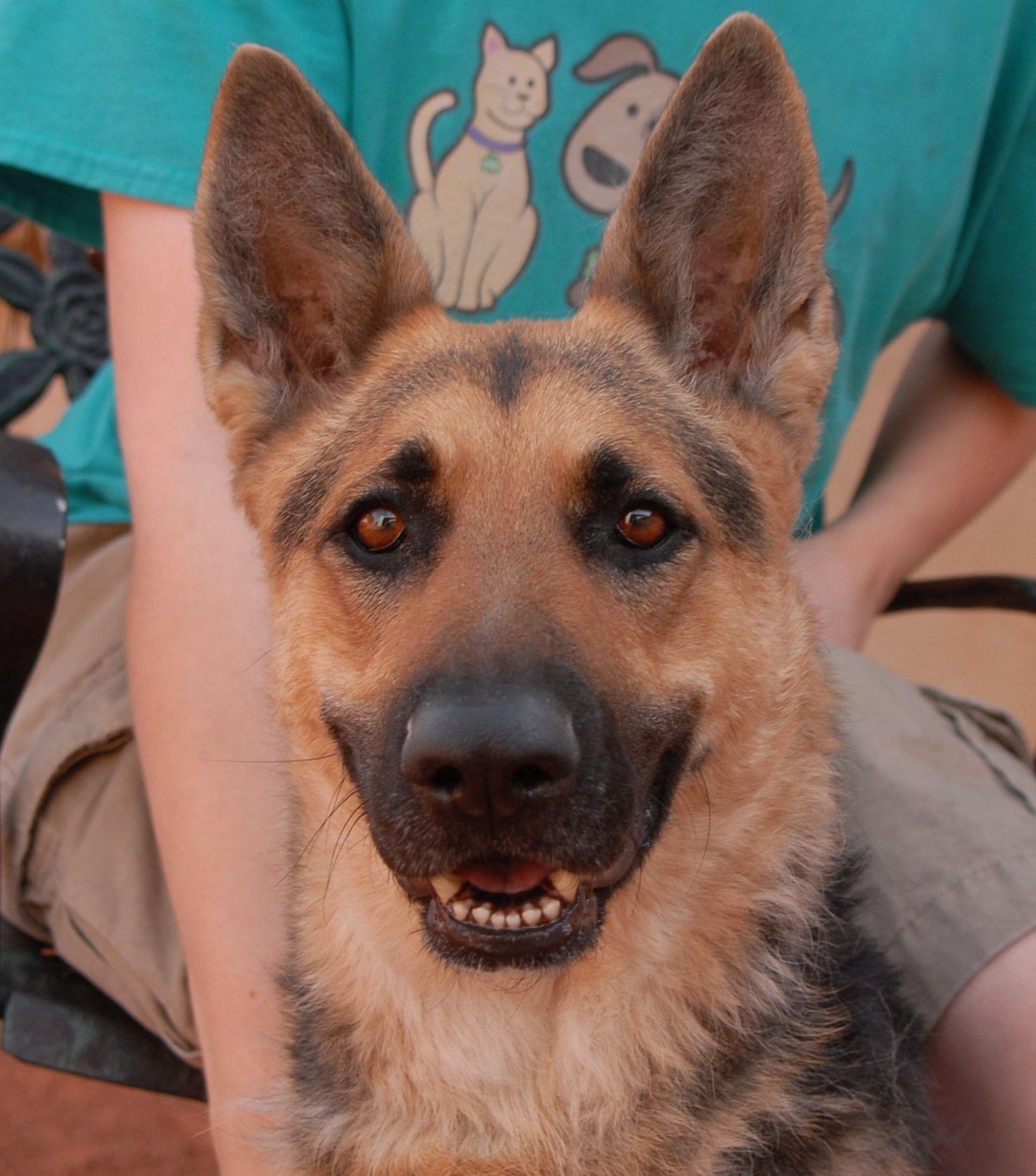 Dawn is a radiant german shepherd debuting for adoption