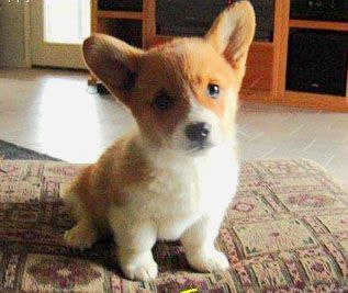 He S Just A Little Guy Baby Corgi Dog Best Apartment Dogs Cute