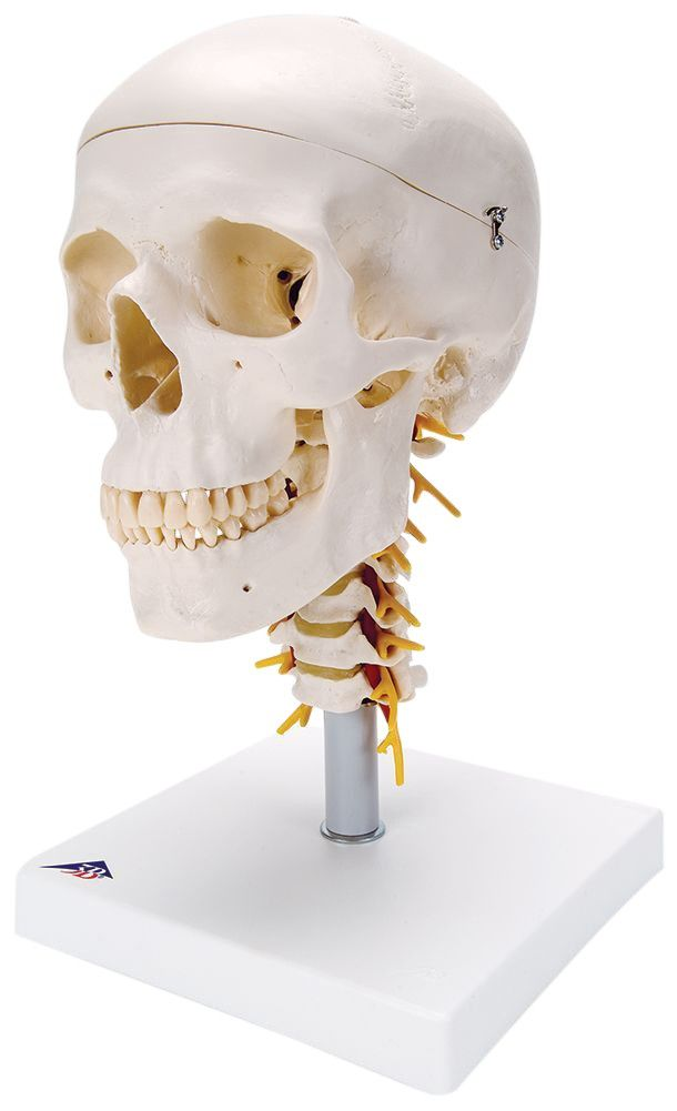 Classic Human Skull Anatomy Model On Cervical Spine Drawing