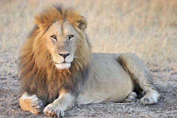 Photograph-Male Lion (Panthera leo) lying, Tanzania, Serengeti National Park, Grumeti-10