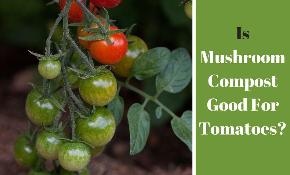 Is Mushroom Compost Good For Tomatoes Mushroom Compost 400 x 300