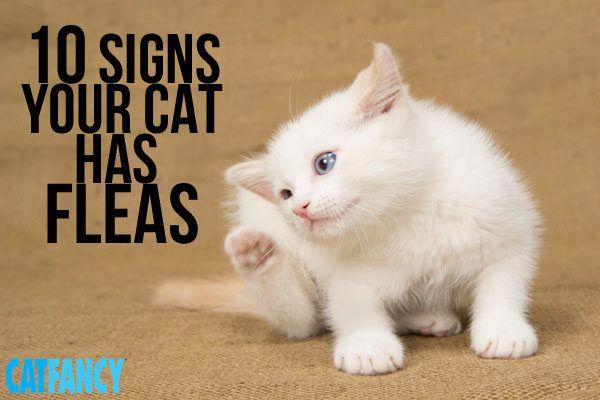 10 Telltale Signs Your Cat Has Fleas Cat Has Fleas Fleas Cat Fleas