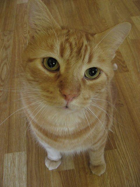 Orange Tabby Cat Sam Previously Butterscotch Orange Tabby Cats Orange Cats Ginger Cats