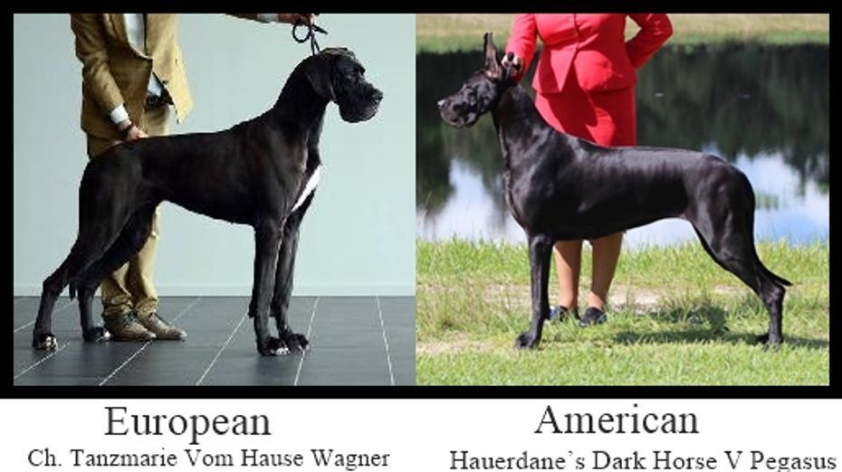 Vulpine Great Danes Euro Vs American Great Dane Dane Vulpine
