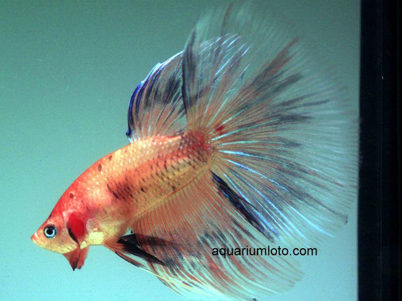 Pez Halfmoon celofán, estos peces son prefectos para acuarios de pequeño tamaño.#bettas #acuarios