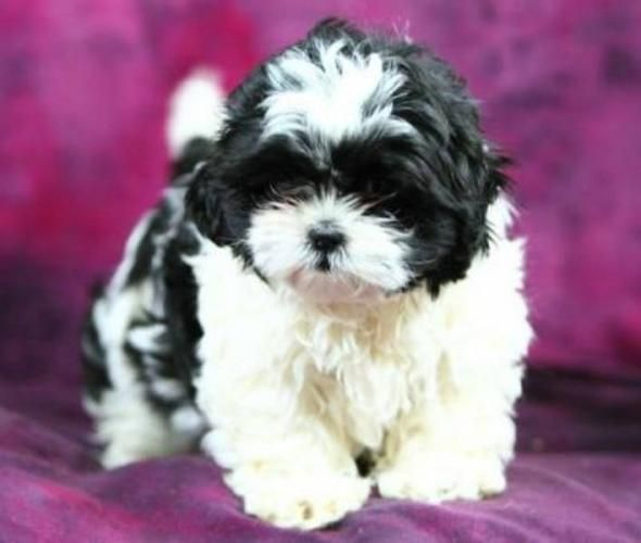 Shih Tzu Puppies Shih Tzu Puppies For Sale For Sale In Hamilton Ontario Classifieds Puppies Shitzu Dogs Kittens And Puppies