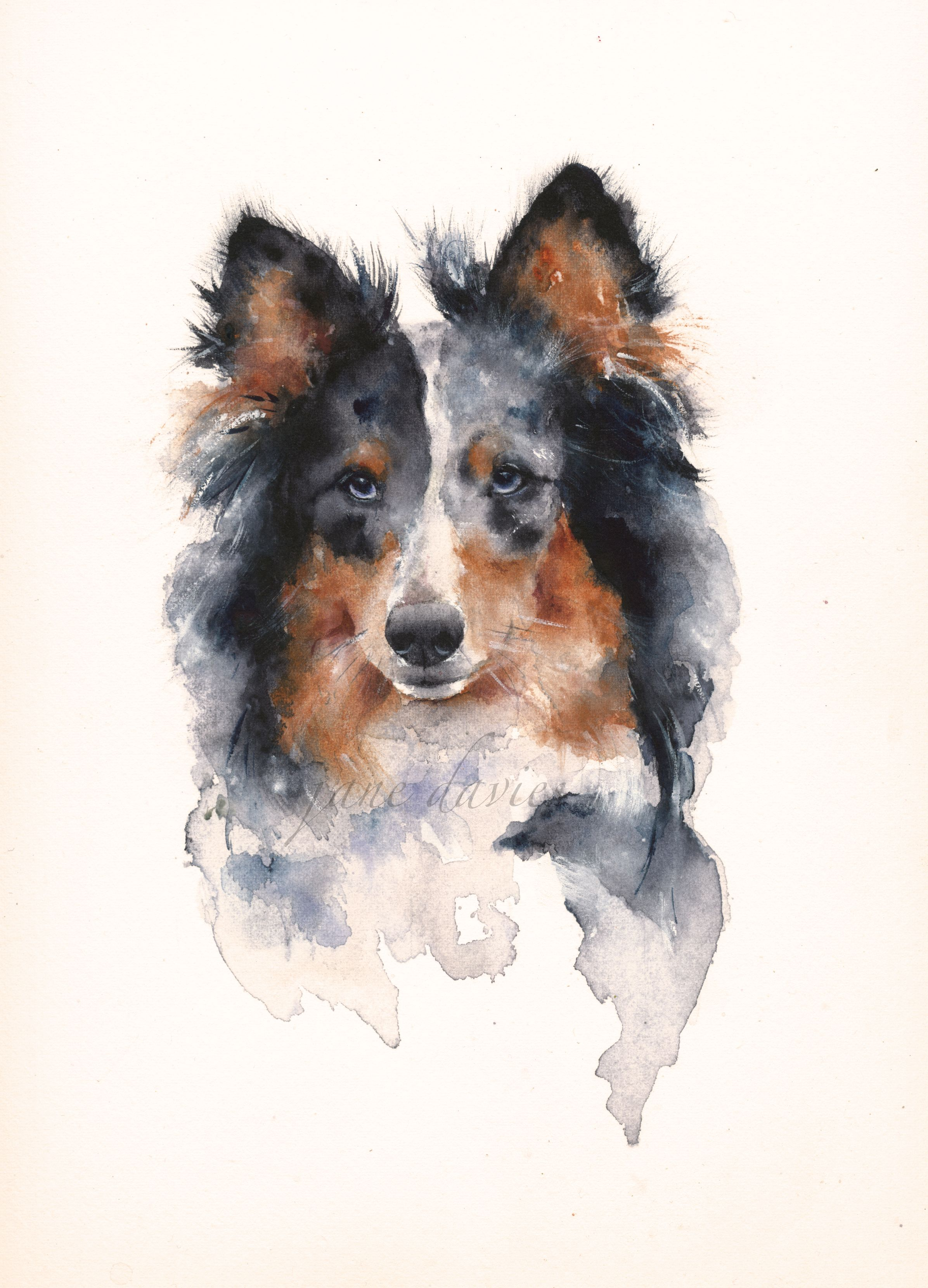 Pet Portrait In Watercolour Of A Sheltie Dog Painted By Artist