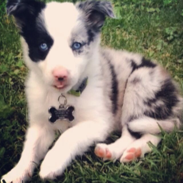 Jordan My 8 Week Old Blue Merle Border Collie Puppy She Has Icy Blue Eyes And Is A Complete Swee Collie Puppies Border Collie Blue Merle Border Collie Puppies