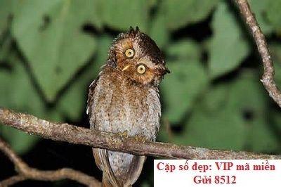 Giấc mơ về chim Otus spilocephalus lutouchei