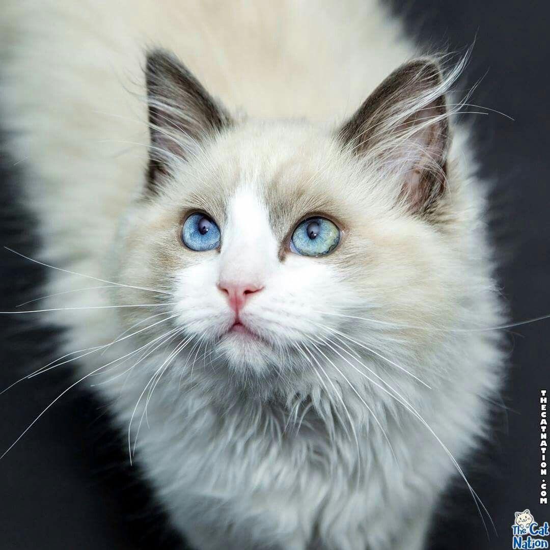 Happy weekend! cats kittens Ragdoll cat, Kittens