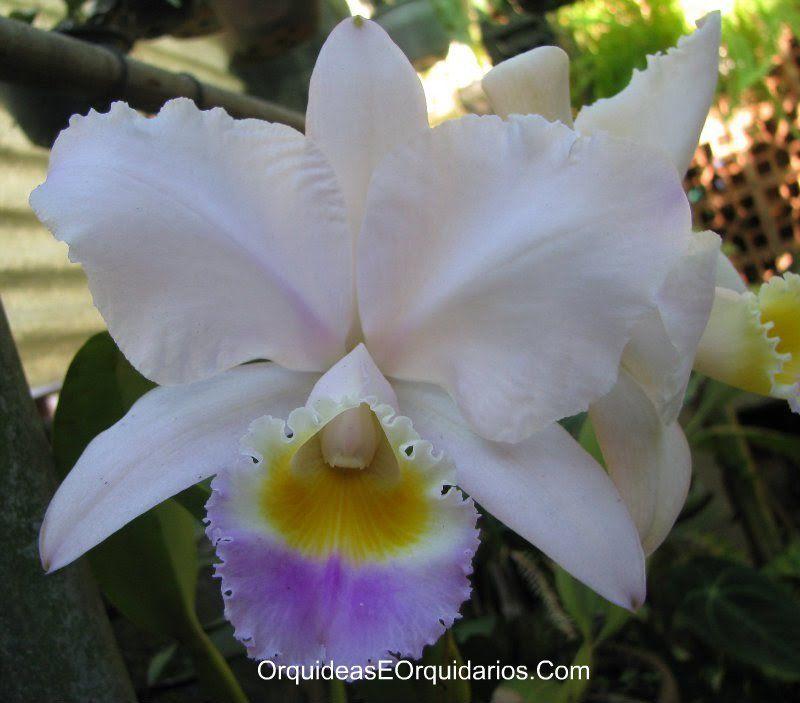 Cattleya Trianae Coerulea Cattleya Orchids Plants Garden