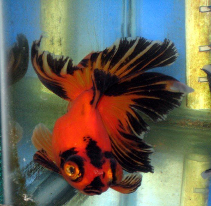 Red Black Goldfish Goldfish Oranda Goldfish Black Goldfish